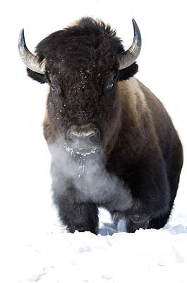 Bison Photograph - Coming Through by Deby Dixon