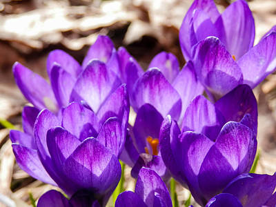 Photograph - Coming Up Crocus by Heather Sylvia