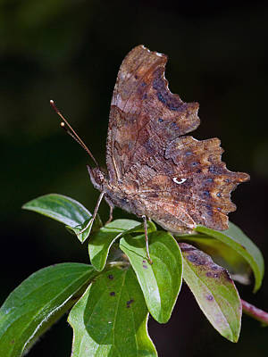 Animals And Insects Photograph - Comma Butterfly Catalonia Spain by Frans Hodzelmans