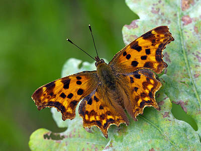 Animals And Insects Photograph - Comma Butterfly France by Frans Hodzelmans