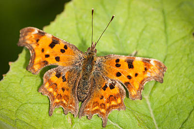 Butterlfy Photograph - Comma Butterfly by Keith Thorburn LRPS
