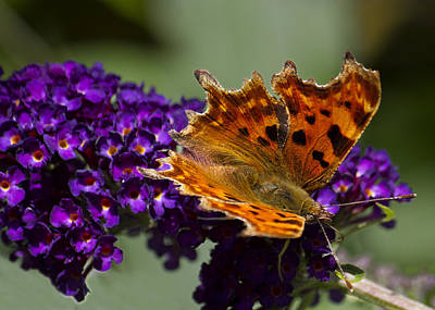 Photograph - Comma Butterfly On Buddleia by Shirley Mitchell
