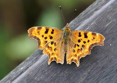 Photograph - Comma Butterfly by Paul Gulliver