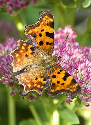 Photograph - Comma Butterfly by Richard Thomas