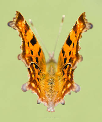 Comma Butterfly Original by Steven Poulton
