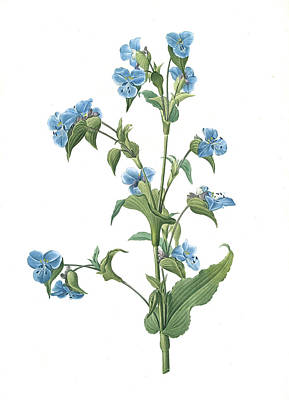 Commelina Tuberosa, Commelina Coelestis Comméline Art Print by Artokoloro