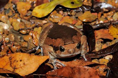 Photograph - Common Asian Bullfrog by Fletcher & Baylis