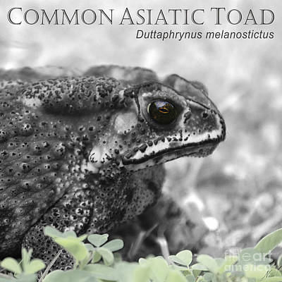 Painting - Common Asiatic Toad by Nola Lee Kelsey