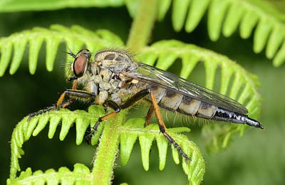 Common Awl Robberfly Print by Nigel Downer
