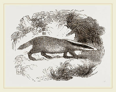 Badgers Drawing - Common Badger by Litz Collection
