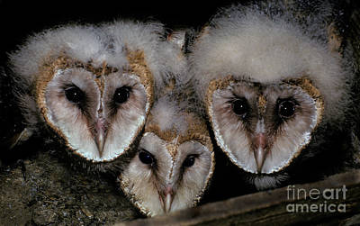 Three Chicks Photograph - Common Barn Owl Chicks Tyto Alba by Ron Sanford