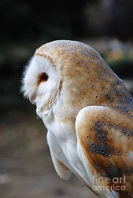 Photograph - Common Barn Owl by David Fowler