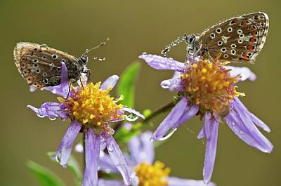 Asters Photograph - Common Blue Butterflies Covered In Dew by Bob Gibbons