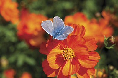 Art Print featuring the photograph Common Blue Butterfly by Lana Enderle