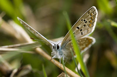 Photograph - Common Blue Butterfly by Mick House