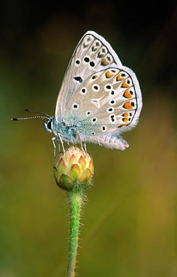 Common Blue Photograph - Common Blue Butterfly by Nigel Downer
