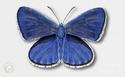 Common Blue Butterfly - Polyommatus Icarus Butterfly Naturalistic Painting - Nettersheim Eifel Art Print
