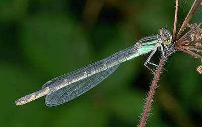 Damselflies Photograph - Common Blue Damselfly by Nigel Downer
