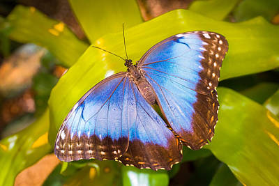 Photograph - Common Blue Morpho by Bill Pevlor