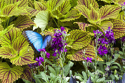Photograph - Common Blue Morpho Butterfly by Jack R Perry