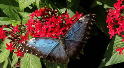 Butterflies Photograph - Common Blue Morpho Butterfly by Rosanne Jordan