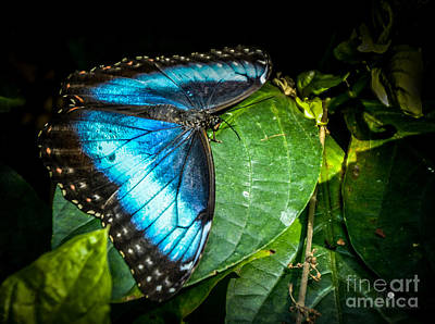 Photograph - Common Blue Morpho by Ronald Grogan