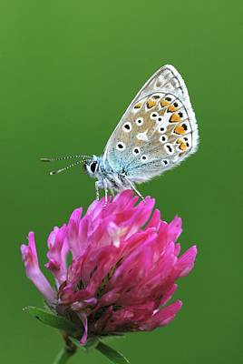 Common Blue Photograph - Common Blue On Clover Flower by Colin Varndell