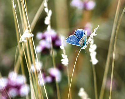 Common Blue  Art Print