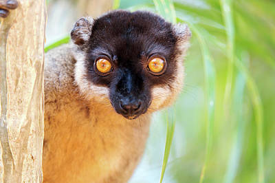 Lemur Photograph - Common Brown Lemur by Dr P. Marazzi