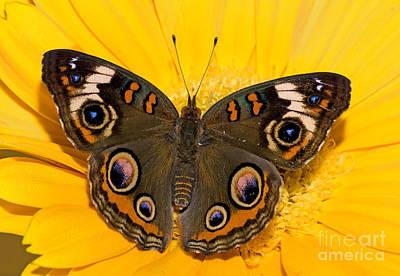 Common Buckeye Butterfly Art Print by Millard H Sharp