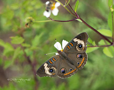 Photograph - Common Buckeye by Mike Fitzgerald