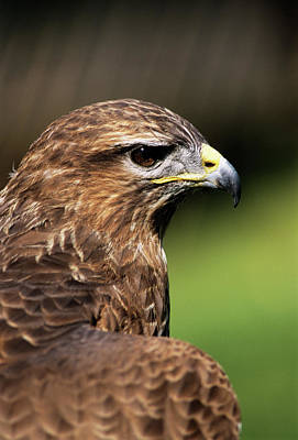 Buzzard Wall Art - Photograph - Common Buzzard by Duncan Shaw/science Photo Library