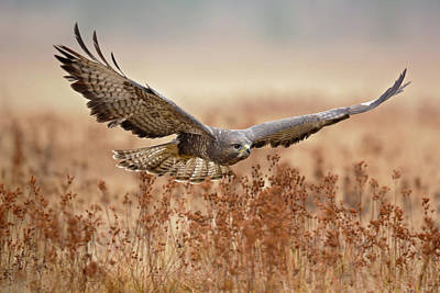 Buzzard Wall Art - Photograph - Common Buzzard by Milan Zygmunt