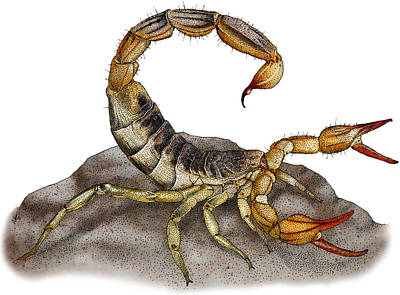 Photograph - Common California Scorpion by Roger Hall
