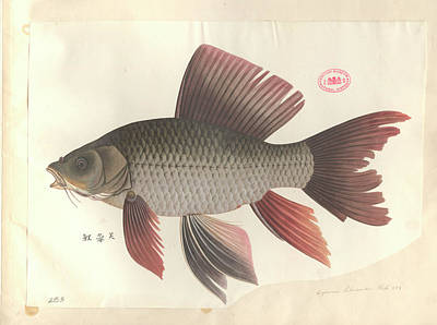 Fish Illustration Photograph - Common Carp by Natural History Museum, London
