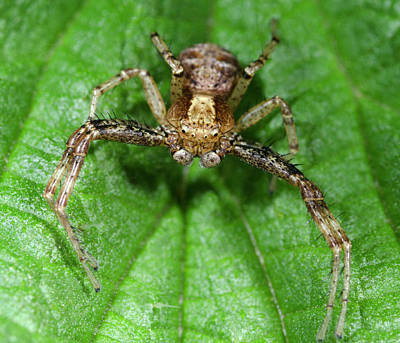 Spider Photograph - Common Crab Spider by Nigel Downer