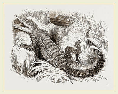 Crocodile Drawing - Common Crocodile by Litz Collection
