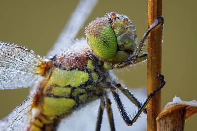 Darter Photograph - Common Darter Dragonfly by Heath Mcdonald