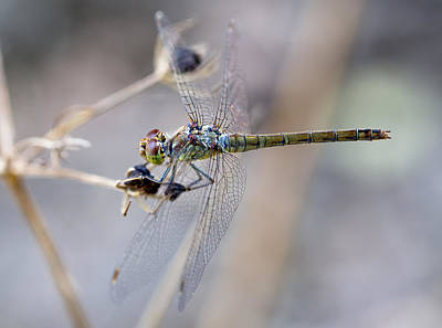 Photograph - Common Darter Female On Crete by Paul Cowan