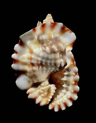 Anus Photograph - Common Distorsio Sea Snail Shell by Gilles Mermet
