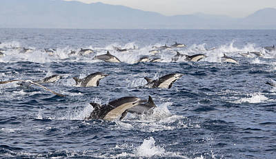 Photograph - Common Dolphins Surfacing San Diego by Richard Herrmann