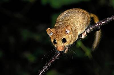 Small Rodents Photograph - Common Dormouse by Colin Varndell