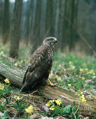 Buzzard Photograph - Common European Buzzard by Hans Reinhard