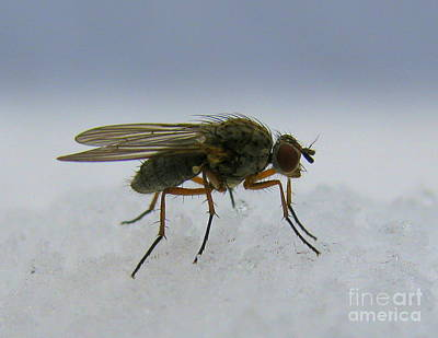 Photograph - Common Fly by Leone Lund