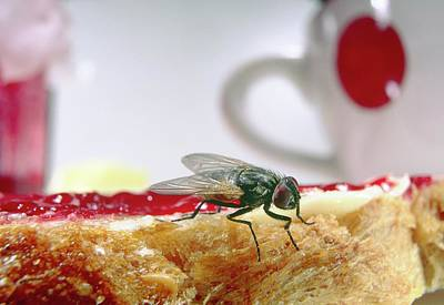 Housefly Wall Art - Photograph - Common Fly On Jam by Pascal Goetgheluck/science Photo Library