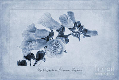 Foxgloves Painting - Common Foxglove Cyanotype by John Edwards