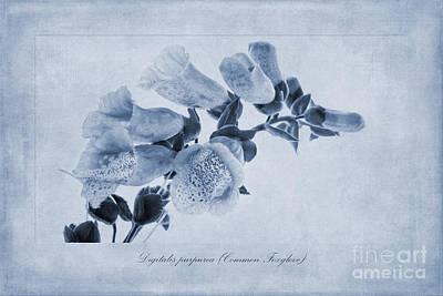 Foxglove Flowers Painting - Common Foxglove Cyanotype by John Edwards