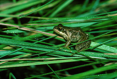 Common Frog Art Print by Dr Morley Read/science Photo Library.