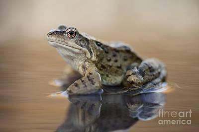 Common Frog On A Pond Art Print