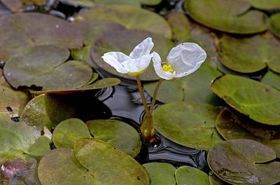 Norfolk Wall Art - Photograph - Common Frogbit (hydrocharis Morsus-ranae) In Flower by Bob Gibbons/science Photo Library